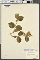 Asclepias cryptoceras subsp. cryptoceras image
