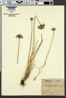 Allium angulosum image