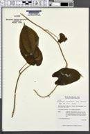 Image of Dioscorea nummularia