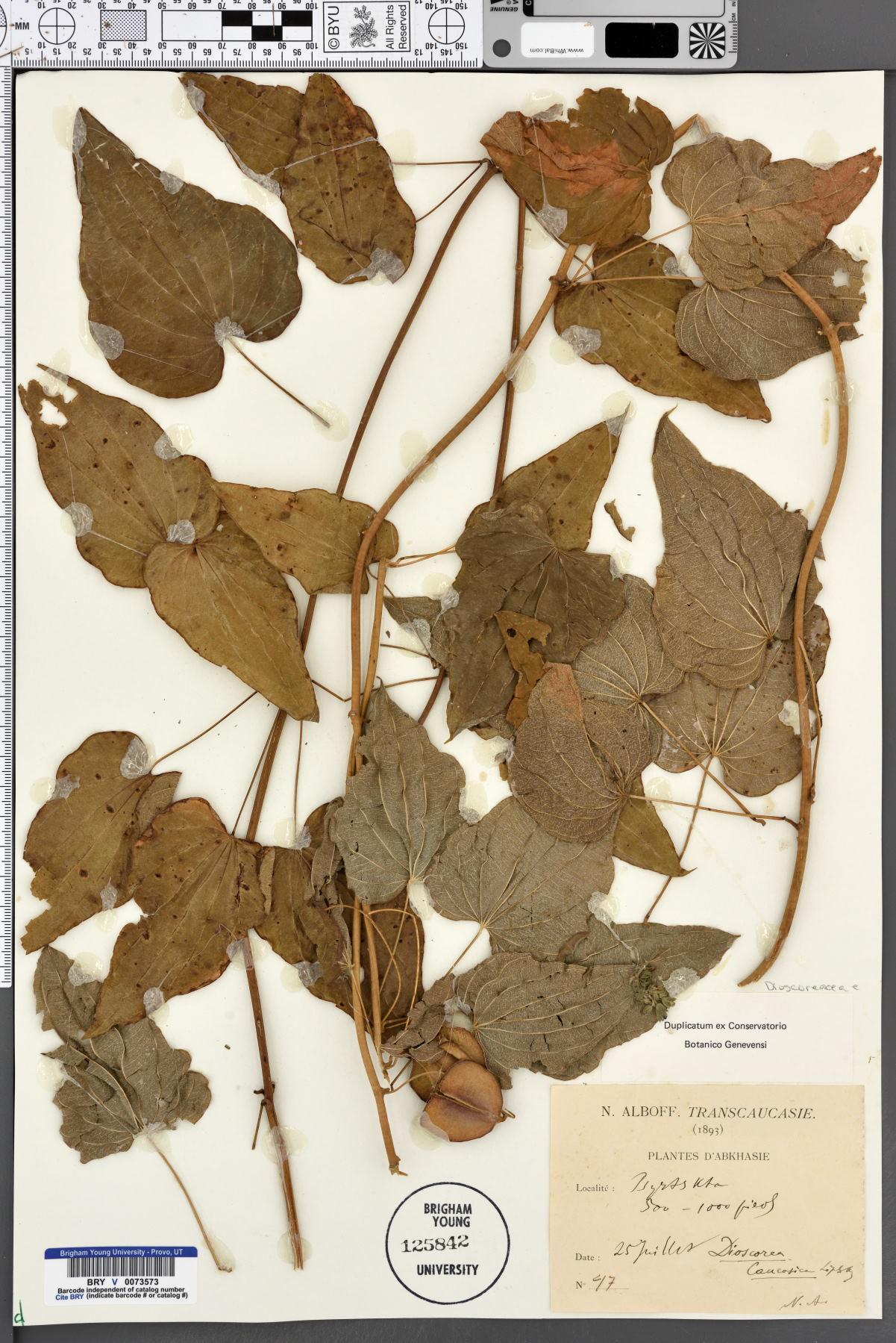 Dioscorea caucasica image