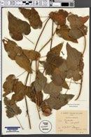 Image of Dioscorea caucasica