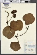 Image of Dioscorea minutiflora