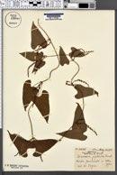 Image of Dioscorea japonica