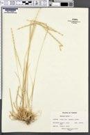 Aegilops mutica image