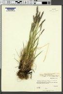 Elymus sajanensis image