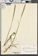 Image of Elymus mutabilis