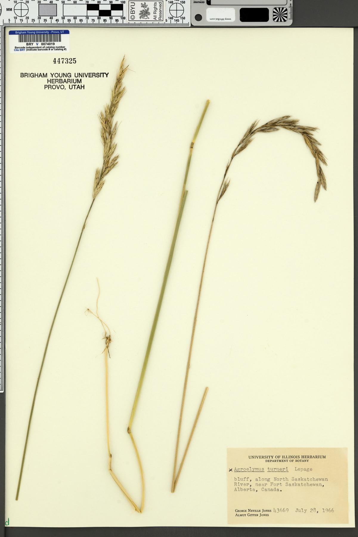 Agroelymus turneri image