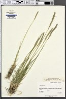 Elymus x yukonensis image