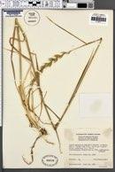 Image of Elymus stebbinsii