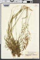 Agrostis canina image