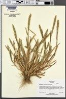 Image of Agrostis clivicola