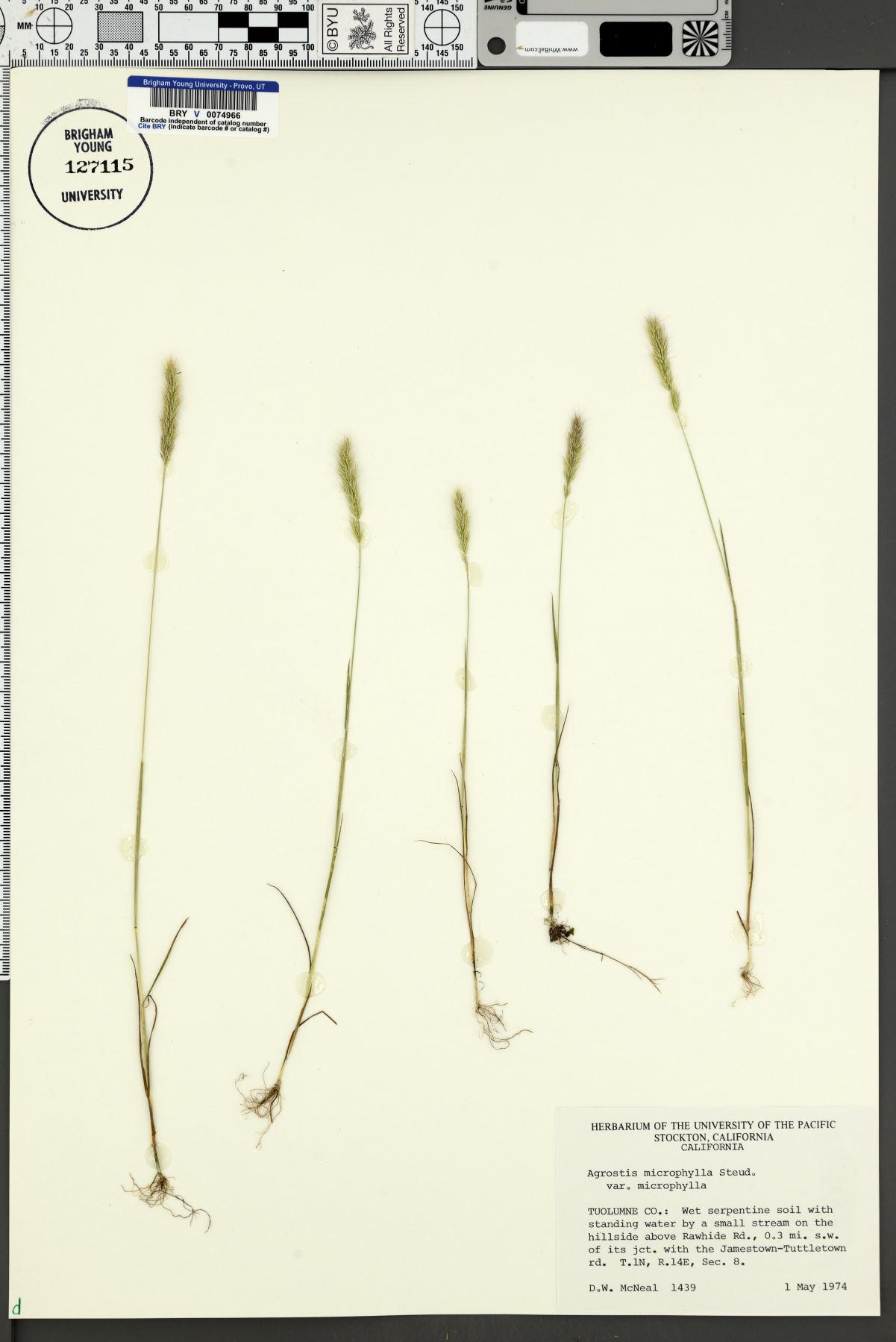 Agrostis microphylla var. microphylla image