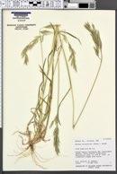 Bromus arizonicus image