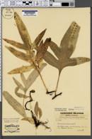 Image of Polypodium phymatodes