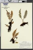 Image of Polypodium rosei