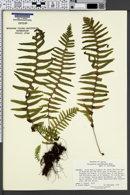 Image of Polypodium hartwegianum