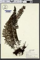 Image of Polypodium wagneri