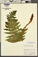 Image of Polystichum andersonii
