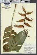 Image of Heliconia humilis