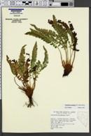 Polystichum scopulinum image