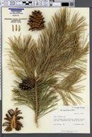 Image of Pinus mugo
