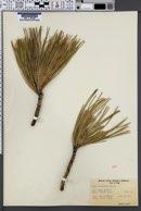 Pinus ponderosa image