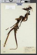 Image of Heliconia schiedeana