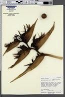 Image of Heliconia paka
