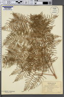 Image of Pteridium caudatum