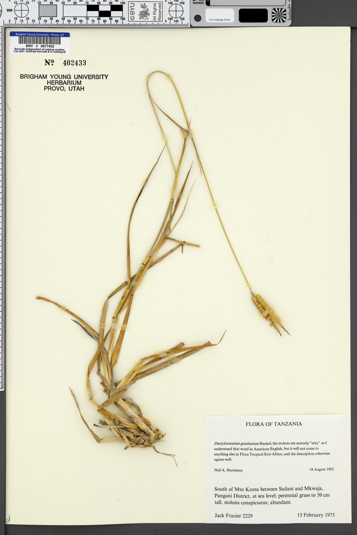 Dactyloctenium germinatum image