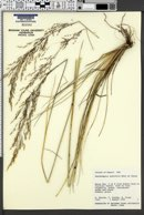 Deschampsia australis image