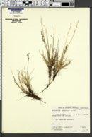 Image of Deschampsia brevifolia