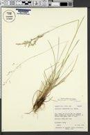 Image of Danthonia caespitosa