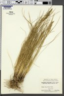Image of Deschampsia holciformis