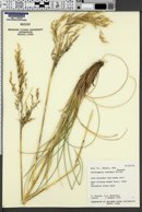 Image of Deschampsia nubigena