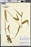 Dichanthelium clandestinum image