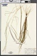 Image of Digitaria panicea