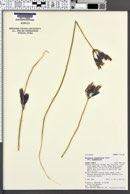 Triteleia grandiflora var. grandiflora image