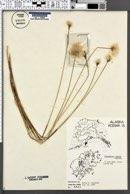 Image of Eriophorum medium