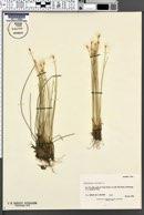 Image of Eriophorum alpinum