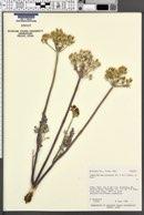 Lomatium macrocarpum image