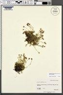 Image of Cherleria arctica