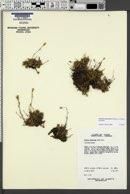 Image of Cherleria yukonensis