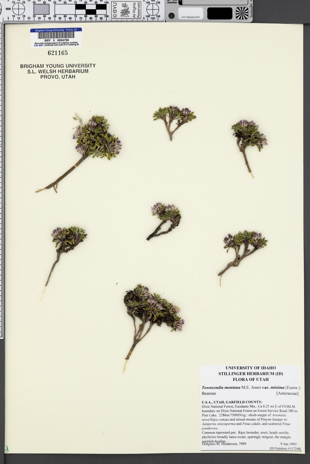 Townsendia montana var. minima image