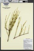 Ephedra viridis var. viridis image