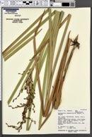 Machaerina angustifolia image