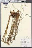 Image of Cyperus auriculatus