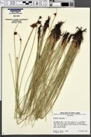 Schoenus nigricans image