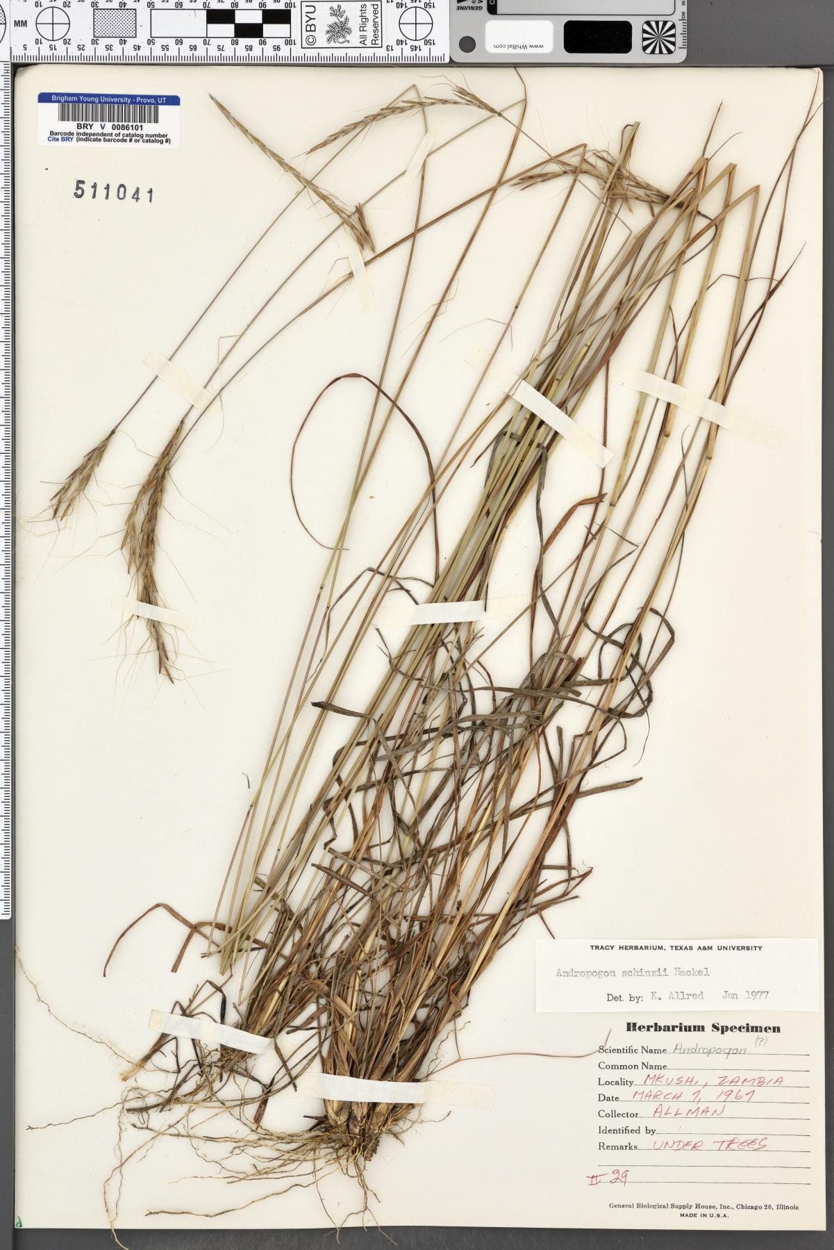 Andropogon chinensis image