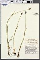 Alopecurus alpinus subsp. glaucus image